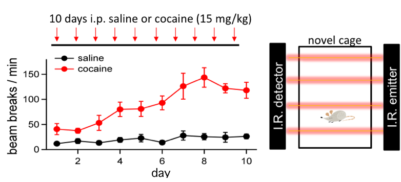 Schema and graph showing the locomotor sensitization to cocaine