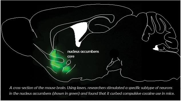 A cross-section of the mouse brain. Using lasers, researchers stimulated a specific subtype of neurons in the nucleus accumbens and found that it curbed compulsive cocaine use in mice.