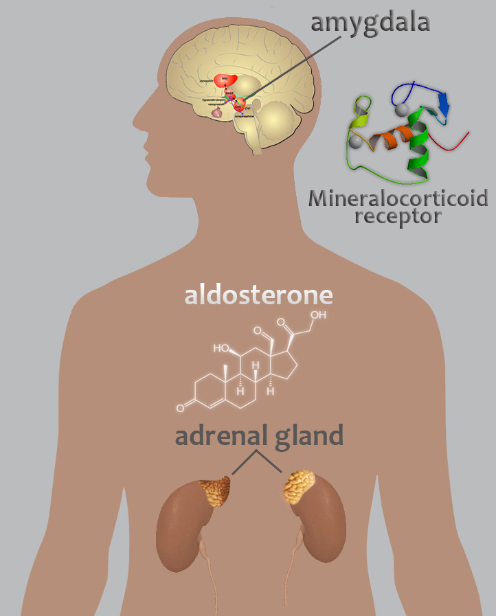 Illustration of a human body shows location of the amygdala and pathway of aldesterone.