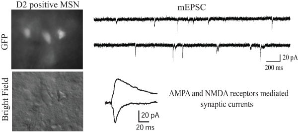 AMPA and NMDA receptor mediated synaptic currents of D2 positive (GFP) medium spiny neurons