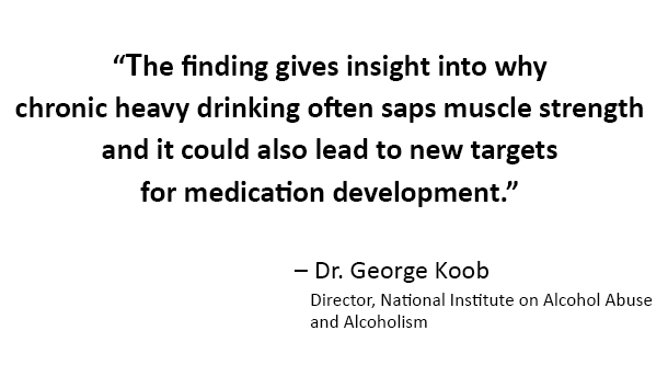 The finding gives insight into why chronic heavy drinking often saps muscle strength and it could also lead to new targets for medication development, said Dr. George Koob, director of the National Institute on Alcohol Abuse and Alcoholism